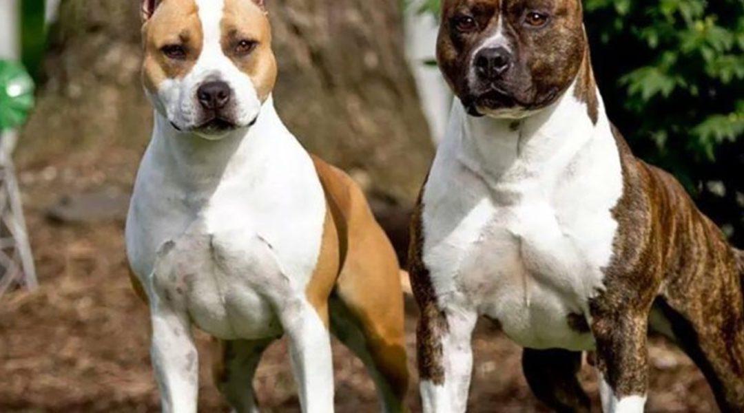 Due cani Amstaff