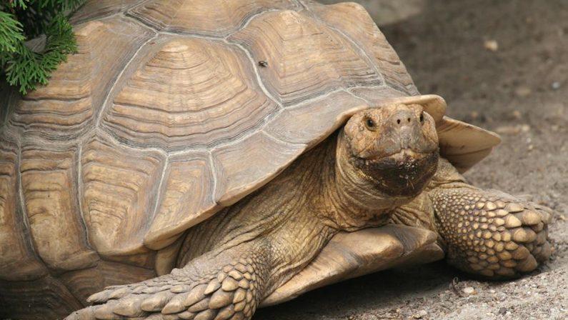 Salvata tartaruga protetta, trovata dai carabinieri durante una perquisizione per droga a Lamezia - VIDEO
